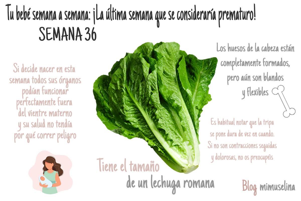 Semana 36 del embarazo bebé como lechuga romana blog mimuselina
