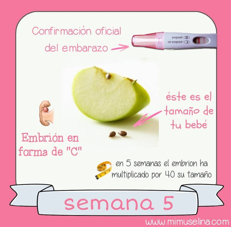 semana 5 del embarazo blog mimuselina