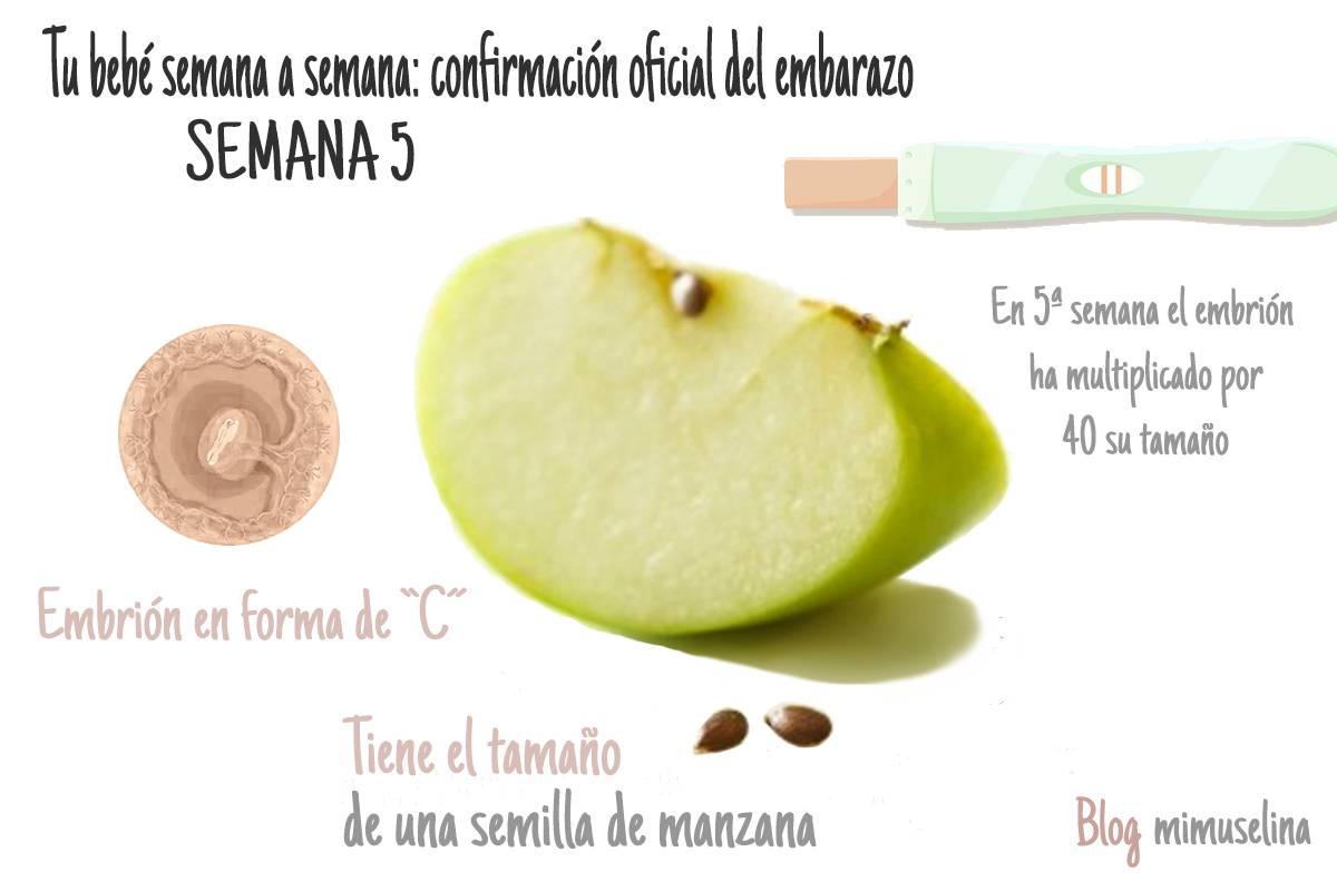 bebe semana a semana del embarazo, semana 5, evolución, tamaño y desarrollo del bebé Mimuselina